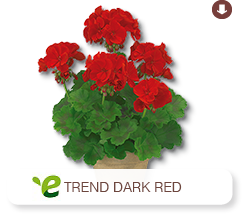 Pelargonium Zonale  Trend Dark Red