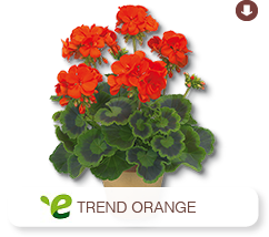 Pelargonium Zonale Trend Orange