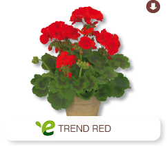 Pelargonium Zonale Trend Red